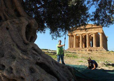 Raccolta olive Valle dei Templi Agrigento