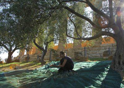 Raccolta olive per la produzione e la commercializzazione dell'olio della Valle dei Templi di Agrigento