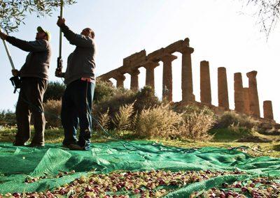 Diodoros - Olio siciliano in vendita online ottenuto dalla molitura delle olive raccolte dagli ulivi della Valle dei Templi di Agrigento
