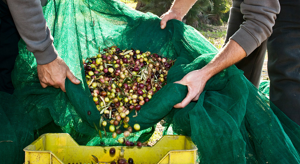 Olive raccolte dagli ulivi affidati a Val Paradiso della Valle dei Templi di Agrigento in Sicilia