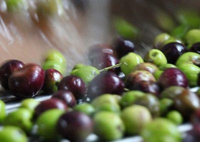Lavaggio delle olive raccolta per la molitura e la produzione dell'olio