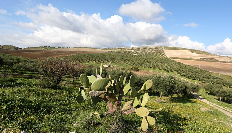 Uliveto in contrada Cufilaro a Licata, in provincia di Agrigento.