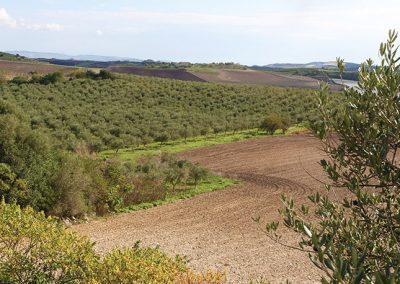 Uliveto in contrada Fasinella a Naro, in provincia di Agrigento.