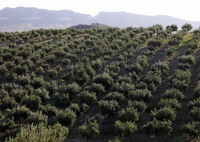 Uliveto in contrada Passarello a Licata, in provincia di Agrigento.