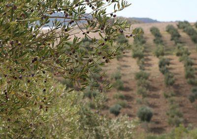 Uliveto in contrada Saladino a Naro, in provincia di Agrigento.