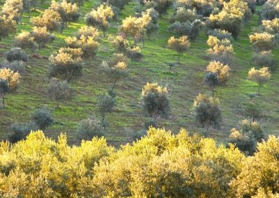 Uliveto Saladino a Naro, in provincia di Agrigento.