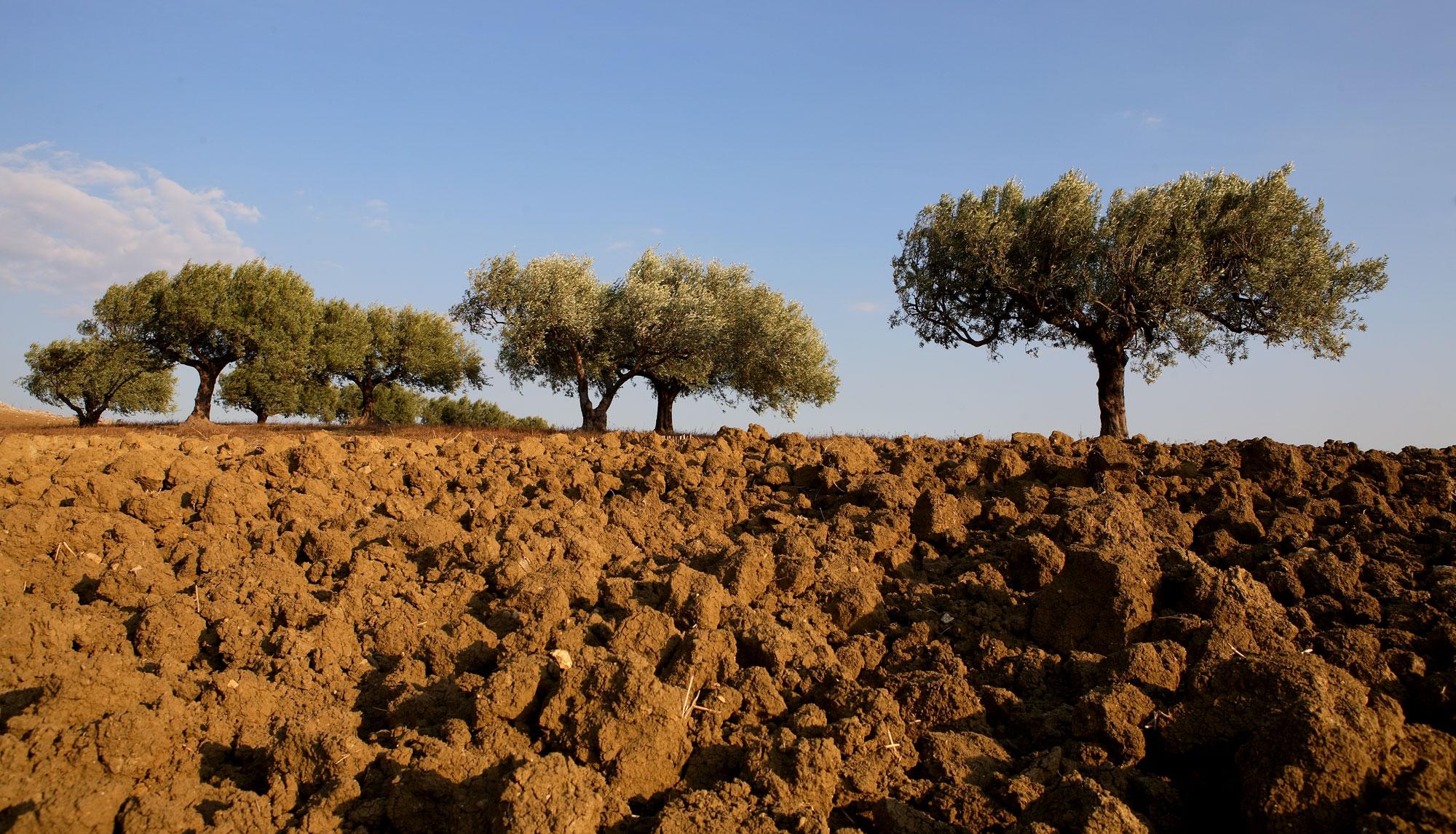 Olio extravergine siciliano