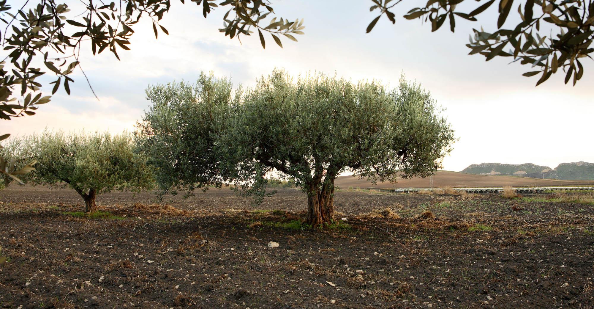 ulivi di Sicilia per la spremitura dell'olio extravergine