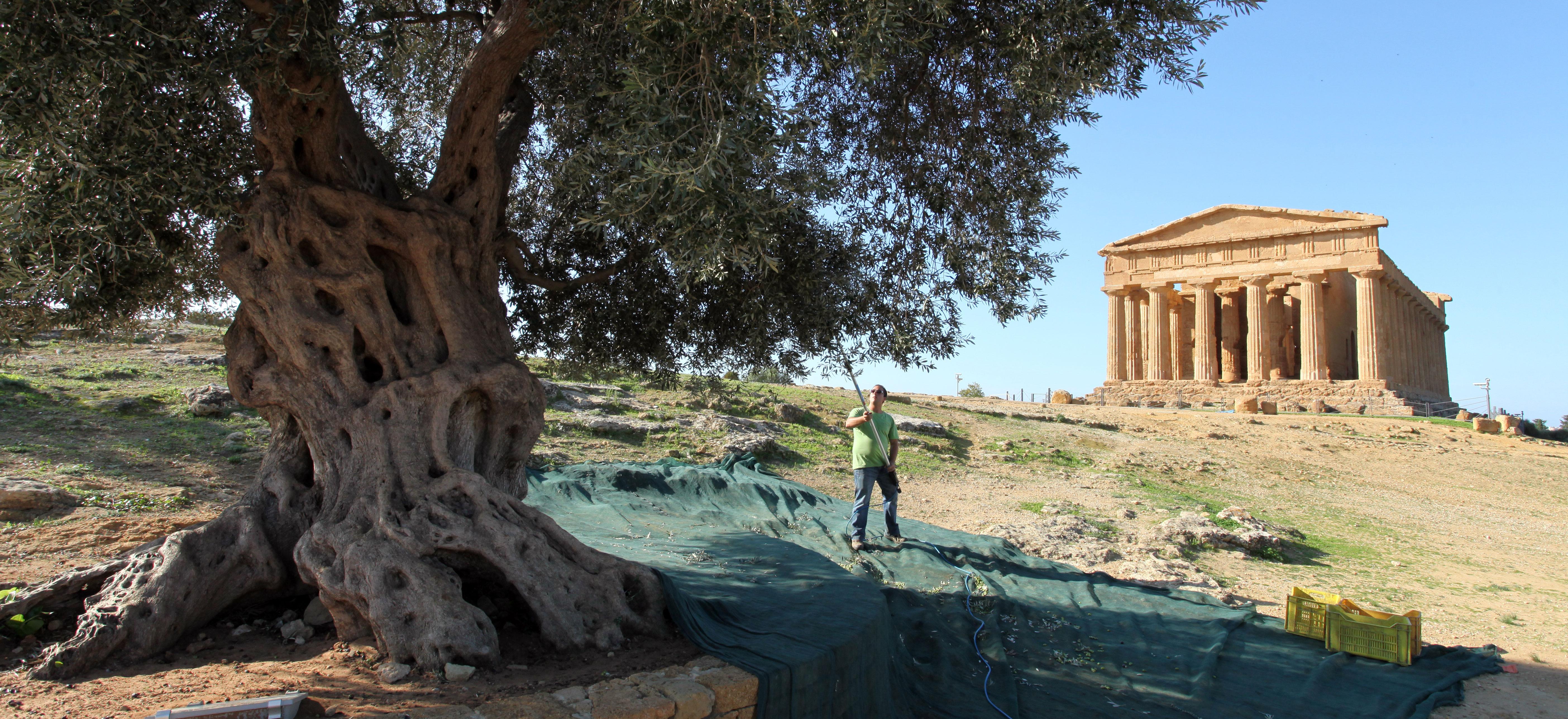 raccolta extravergine sicilia